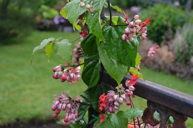 Un cl rodendron grimpant 39 red lilac 39 nouvelles site - Plante qui fait dormir ...