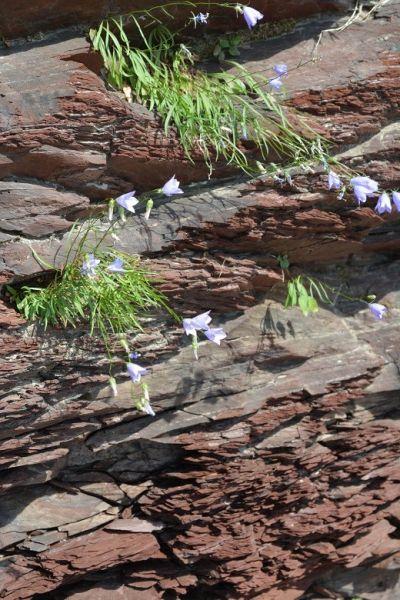 Herborisation au parc des chutes rouillard nouvelles - Campanule a feuilles rondes ...