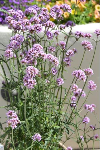 verveine fleurs plante decorative