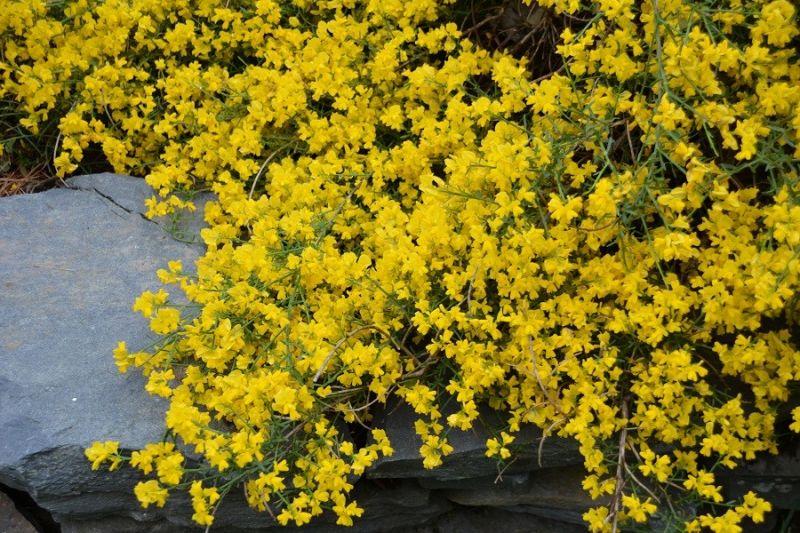 Arbre nain persistant le nectarinier haie fleurie et for Cerisier nain garden bing