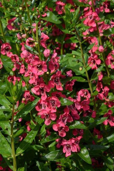 Des coups de coeur pour 2017 plantes annuelles - Fleur au coeur noir ...