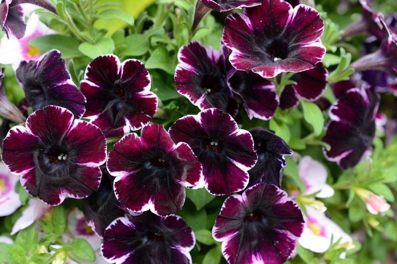 Fleurs annuelles plein soleil - Fleur grimpante plein soleil ...