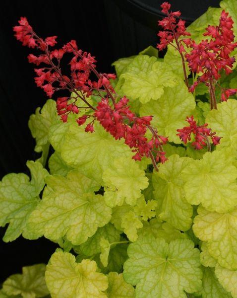 Des coups de coeur pour 2017 plantes vivaces infolettres de rock gigu re jardins histoire - Vivace couvre sol longue floraison ...
