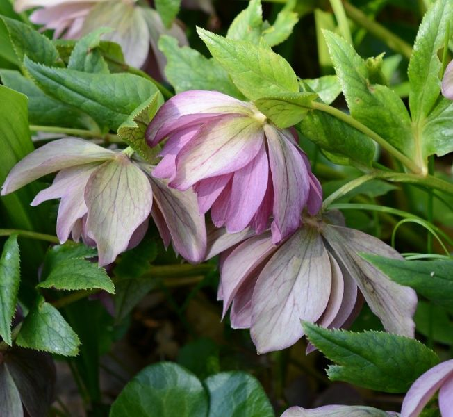 Les hellébores annoncent le printemps - Nouvelles - Site ...