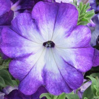 Petunia 'Sanguna Radiant Blue'