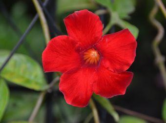 Mandevilla Sun Parasol® Red Emperor