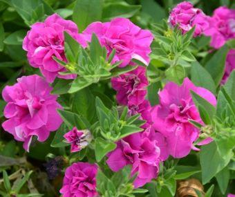 Petunia Blanket® Rose