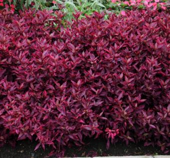 Althernanthera brasiliana 'Brazilian Red Hots'