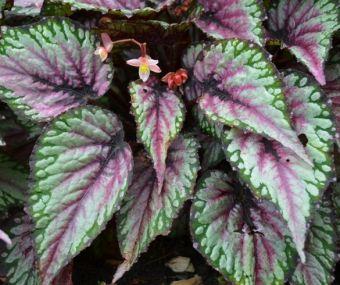 Begonia rex 'Salsa'