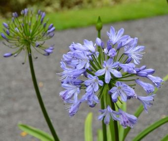 Agapanthus 'Blue Heaven'