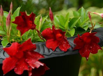 Mandevilla Sun Parasol® Garden Crimson