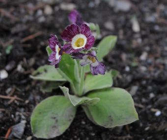 Primula auricula 'Orwell Tiger' (Allan Hawkes, Royaume-Uni, 1994) auricule d'exposition