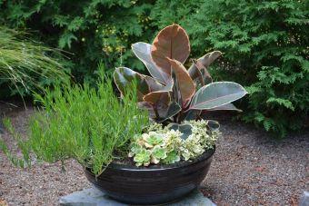 Ficus elastica 'Tineke', Lampranthus aureus, Nematanthus gregarius 'Cheerio', Aeonium 'Kiwi'