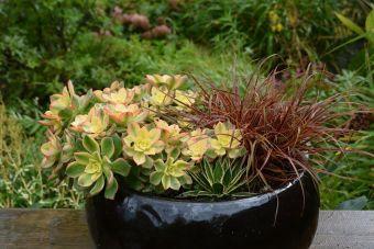 Arrangement chez-moi en 2014 : Uncinia rubra 'Belinda's Find', Aeonium 'Kiwi', Agave leopoldii.