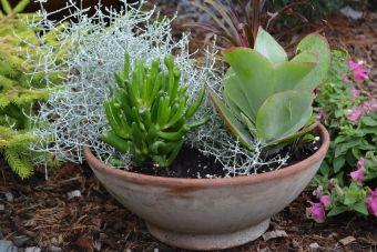 Arrangement chez-moi en 2014 : Kalanchoe thyrsiflora 'Flap Jacks', Crassula ovata 'Hobbit', Calocephalus brownii 'Silver Stone', Cordyline 'Fairchild Red'