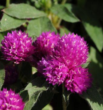 Gomphrena Pinball™ Purple