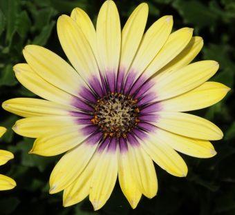 Osteospermum ecklonis Blue Eyed Beauty™ 'Balostlueye'