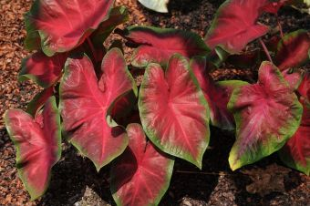 Caladium Painted Frog™ Red-Bellied Tree Frog