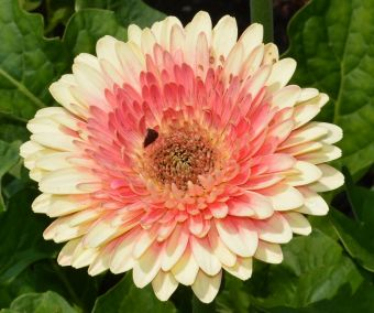 Gerbera jamesonii Patio® Karoo® 'flokaroo'