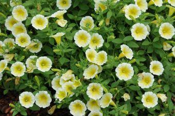 Petunia Blanket® Yellow en sol au Jardin Danie A. Séguin le 3 août 2014.
