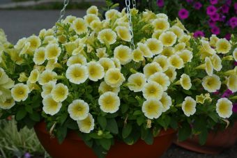 Petunia Blanket® Yellow en suspension au Jardin botanique Roger-Van den Hende le 10 juillet 2014.