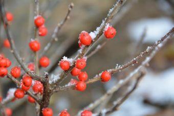 Ilex verticillata Berry Poppins™ 'FarrowBPop'