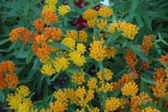Butterfly weed,