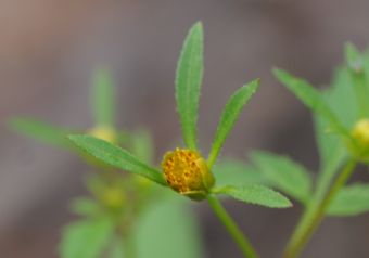 Devils Beggarticks, Common Bur-Marigold