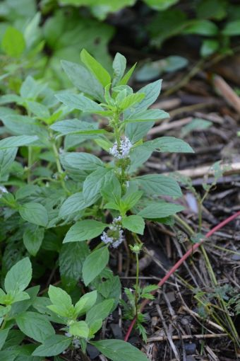 American Wild Mint, Canadian Mint
