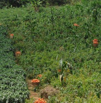 Au Cameroun comme ailleurs, on tente de diminuer l'usage de pesticides