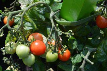 La tomate 'Heartbreaker Vita'