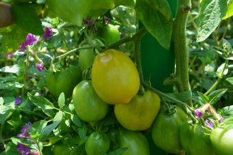 Solanum lycopersicum 'Plum Lemon'