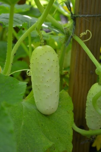 Cucumis sativus 'Salt and Pepper'