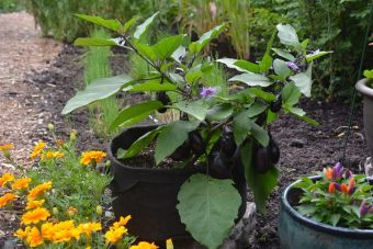 L'aubergine 'Patio Baby'