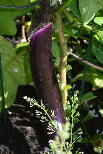 Solanum melongena 'Ping Tung'