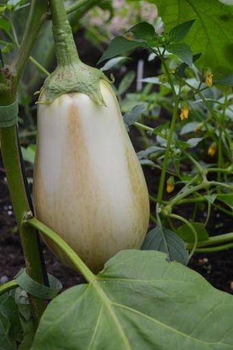 Solanum melongena 'Clara'