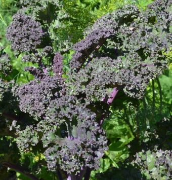 Brassica oleracea var. sabellica groupe Acephala 'Redbor'