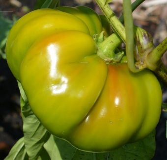 Capsicum annuum 'Round of Hungary'