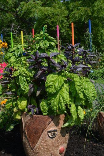 Ocimum basilicum Try Basil™