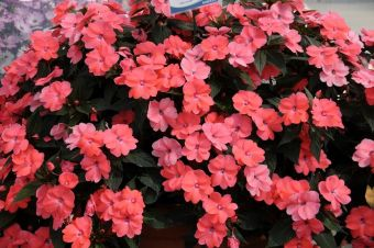 Impatiens hawkeri SunPatiens® Spreading Shell Pink All-America Selections 2015
