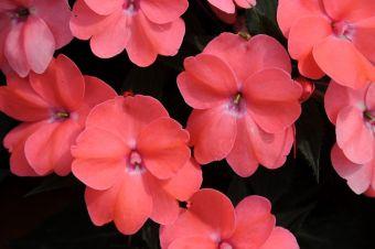L'impatiente de Nouvelle-Guinée SunPatiens® Spreading Shell Pink