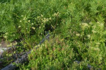 L'aralie hispide peut mesurer 15 à 90 cm (6 à 36 po) de hauteur.