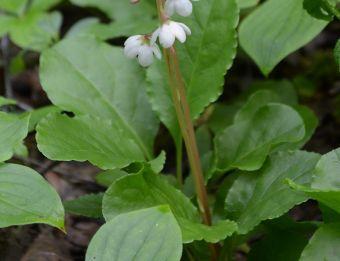 Ses feuilles ovales ou elliptiques