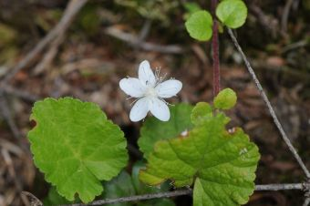 Rubus repens (L.) Kuntze 1891(Syn. Dalibarda repens L. 1753)