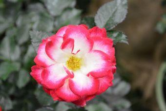 Rosa 'Never Alone'