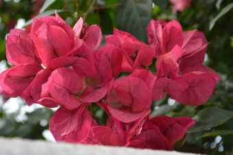 Great bougainvillea, paper flower