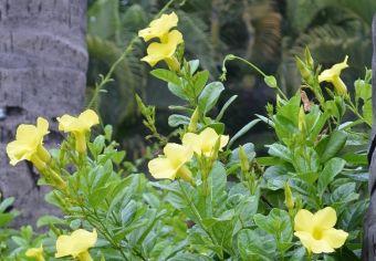 La mandeville jaune