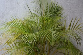 Yellow areca palm
