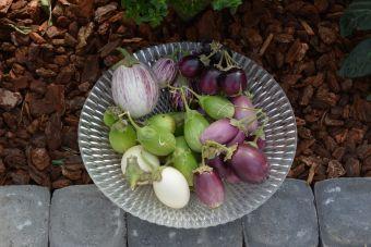 Les aubergines à petits fruits