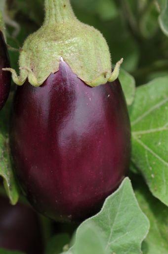Solanum melongena 'Amethyst'
